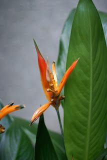 Heliconia psittacorum 'Olympic Dream'