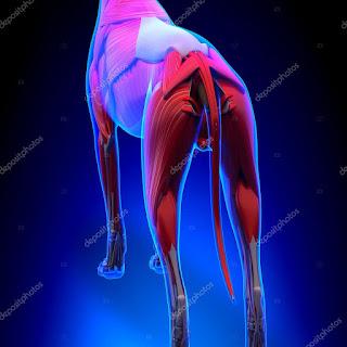 musculatura dos cães