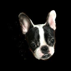 french bulldog05