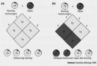 Mendel melaksanakan penelitian perihal pewarisan sifat pada tumbuhan ercis Pewarisan Sifat - Mendel