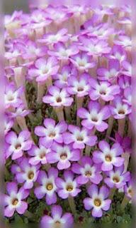 Flores lilas con blanco pequeñas fondos wallpaper para teléfono móvil resolución 480x800