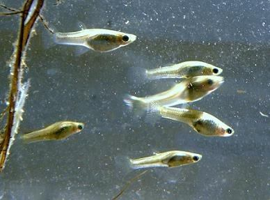 Charales acuario kiss for Alimentacion para peces de acuario