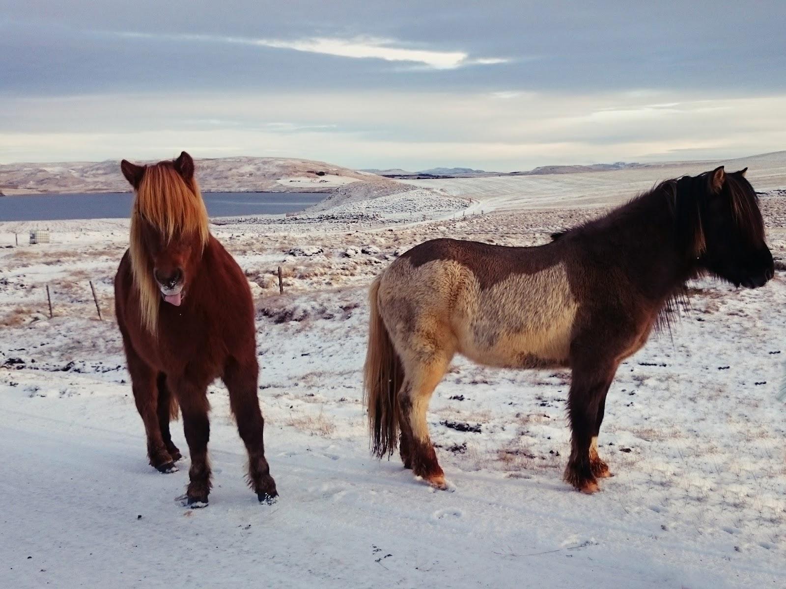 Islandzkie koniki, Islandia, konie, zima, śnieg, jezioro, koń, panidorcia, facebook, lajk