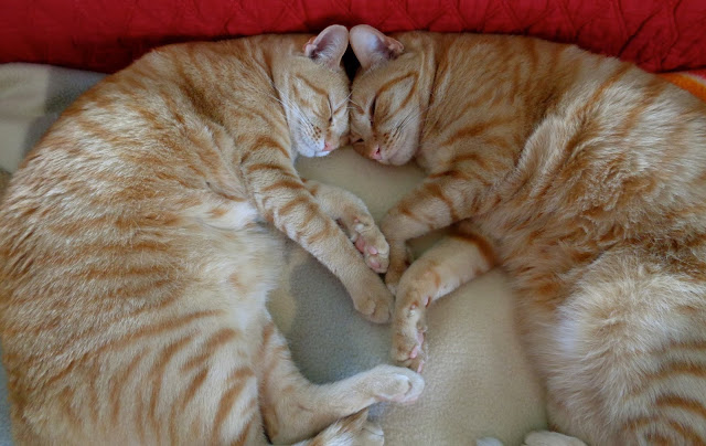Cats (PBJ and Lil Red Buttons) Sleeping and Dreaming