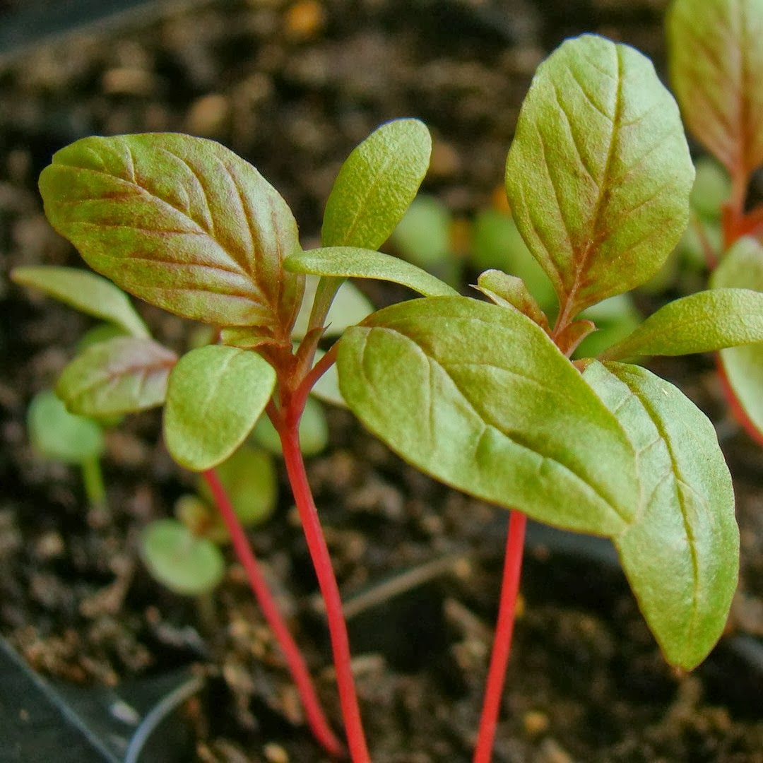 How to grow Amaranth from seed