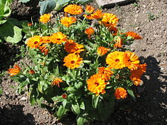 calendula-officinalis-wikipedia