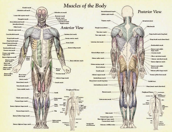 telcel2u Muscle Anatomy Muscles Body Labeled Human With