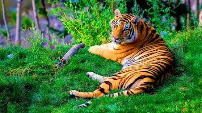 tigers of nameri national park