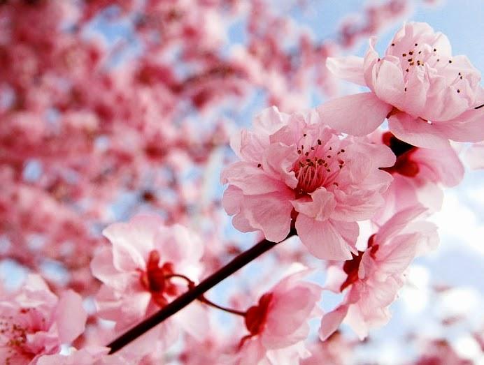Gambar Bunga Sakura Di Jepang Best Pictures