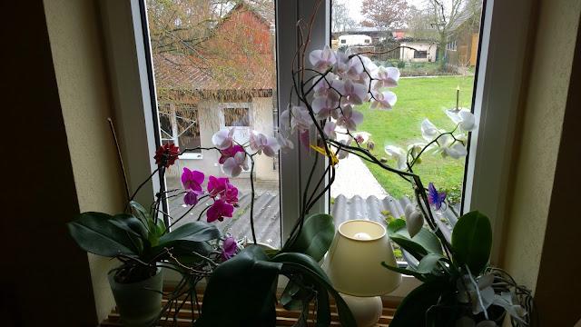 blühende Orchidee (c) by Joachim Wenk