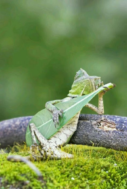 Una lagartija tirada plácidamente en el campo, mientras que mantiene una hoja, como si fuera una guitarra, quizás no es tan interesante para National Geographic, mas para los fanes de Photoshop ¡es una mina de oro! Veamos: Lagartija en Batalla de Photoshop Y ahora veamos lo que la imaginación provocó en esta intensa batalla: