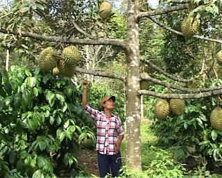 Trồng xen canh cây sầu riêng