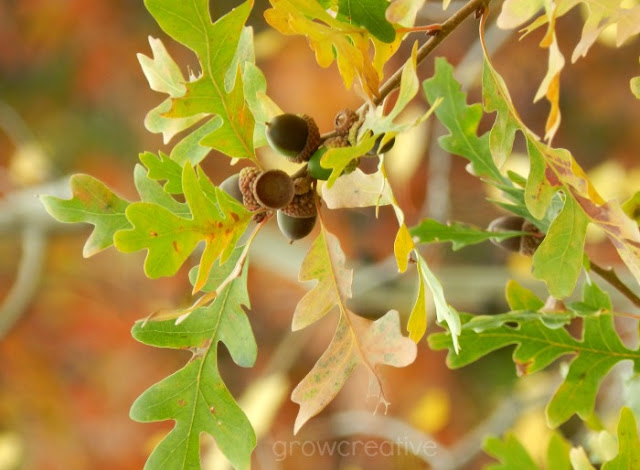 Scrub Oak Acorn: growcreativeblog