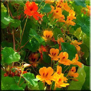 Çiçek, mis koku, güzel,gül, menekşe,