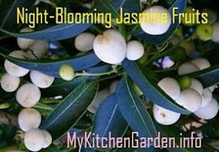 Night-Blooming Jasmine Fruit Berries