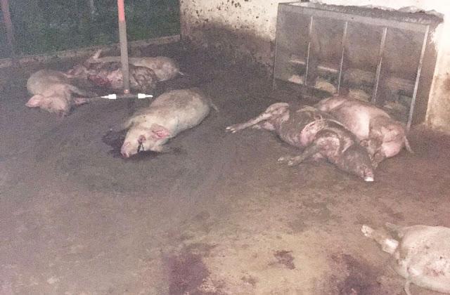 sacrifican-y-roban-lote-de-cerdos-en-la-villa