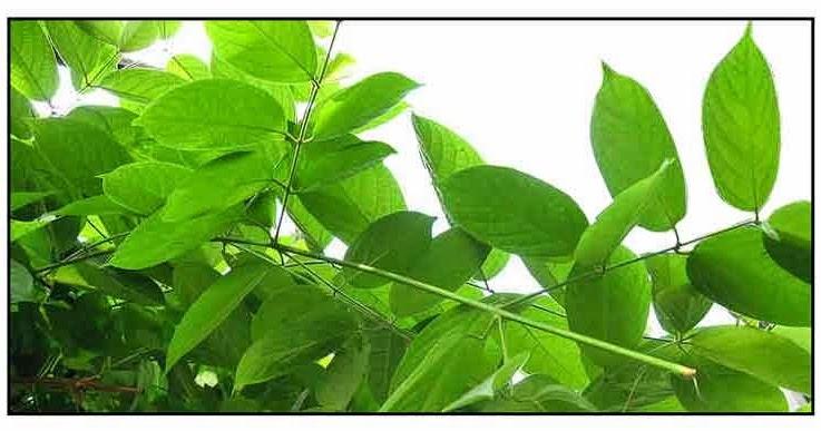 Philippine Herbal Plants And Their Uses Niyog Niyogan