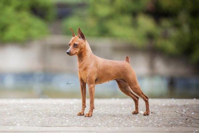 Cách cắt đuôi chó an toàn nhất