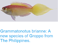 https://sciencythoughts.blogspot.com/2016/10/grammatonotus-brianne-new-species-of.html