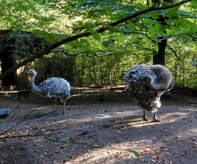 Twee struisvogels