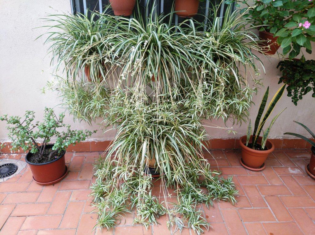 Huerto casero de quiquet cuidados de la planta cinta o - Cinta planta ...