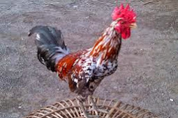 Ayam Ketawa Dan Harganya