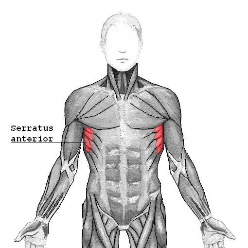 serratus anterior muscles