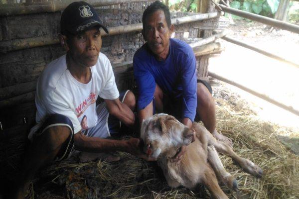 Viral, Seekor Anak Sapi di Boyolali Berkepala Dua dan Memiliki Tiga Telinga