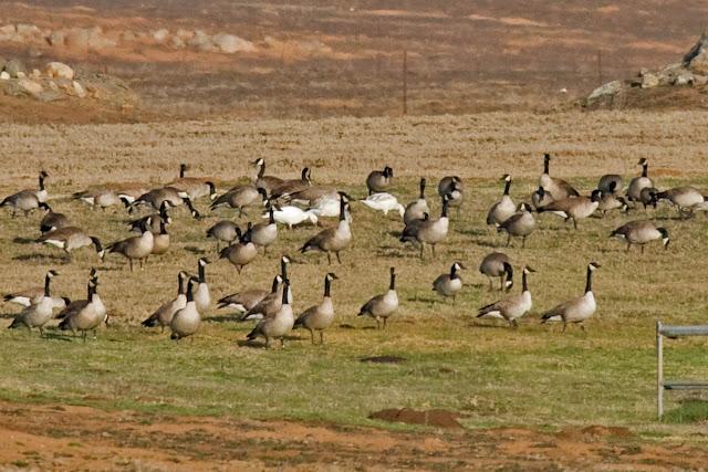 Snow Goose among Canada Goose