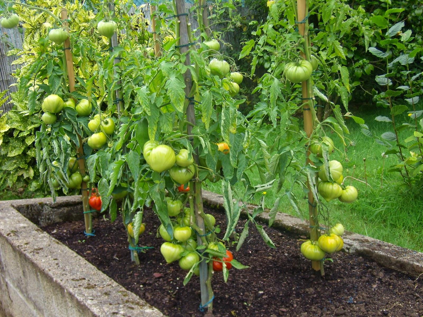 le blog des 3 filles tomates comment les soigner. Black Bedroom Furniture Sets. Home Design Ideas