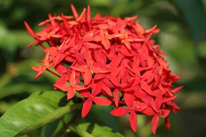 Inilah Manfaat Bunga Asoka Untuk Kesehatan