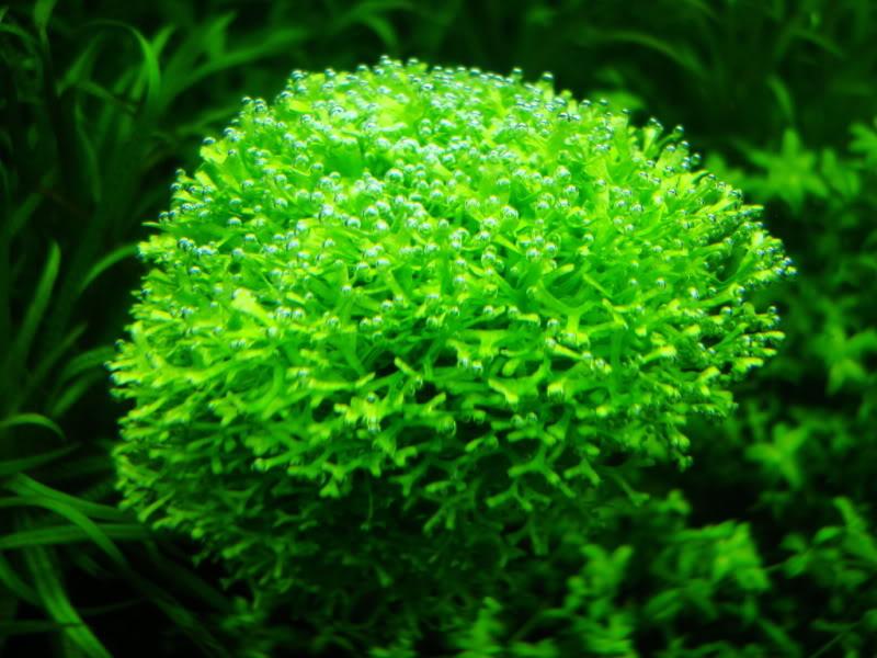rêu ricca thở trong bể thủy sinh