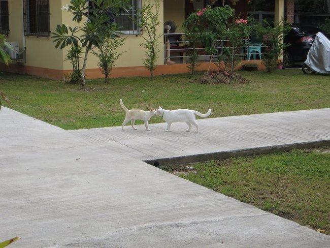 Белые кошки целуются