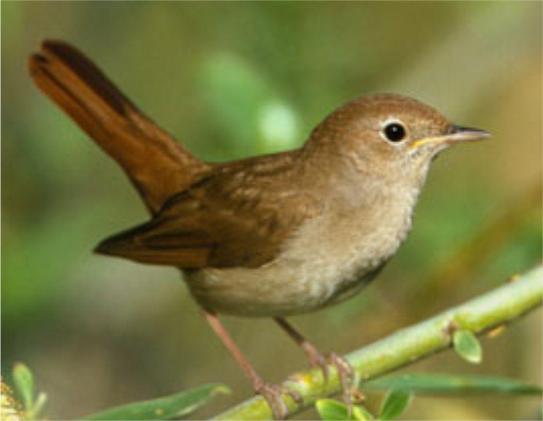 Nightingale Burung Yang Imut Tetapi Mempunyai Suara Yang Tajam
