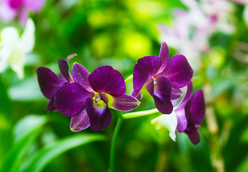 purple hybrid orchid