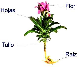 Dibujo de una planta señalando sus partes principales