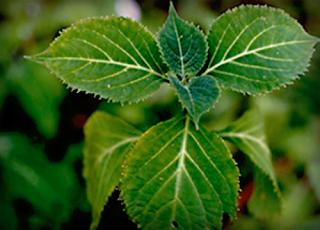 Planta Mágica: Salvia