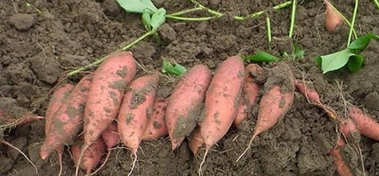 Sweet Potato Farming/Business Plans and Feasibility Study