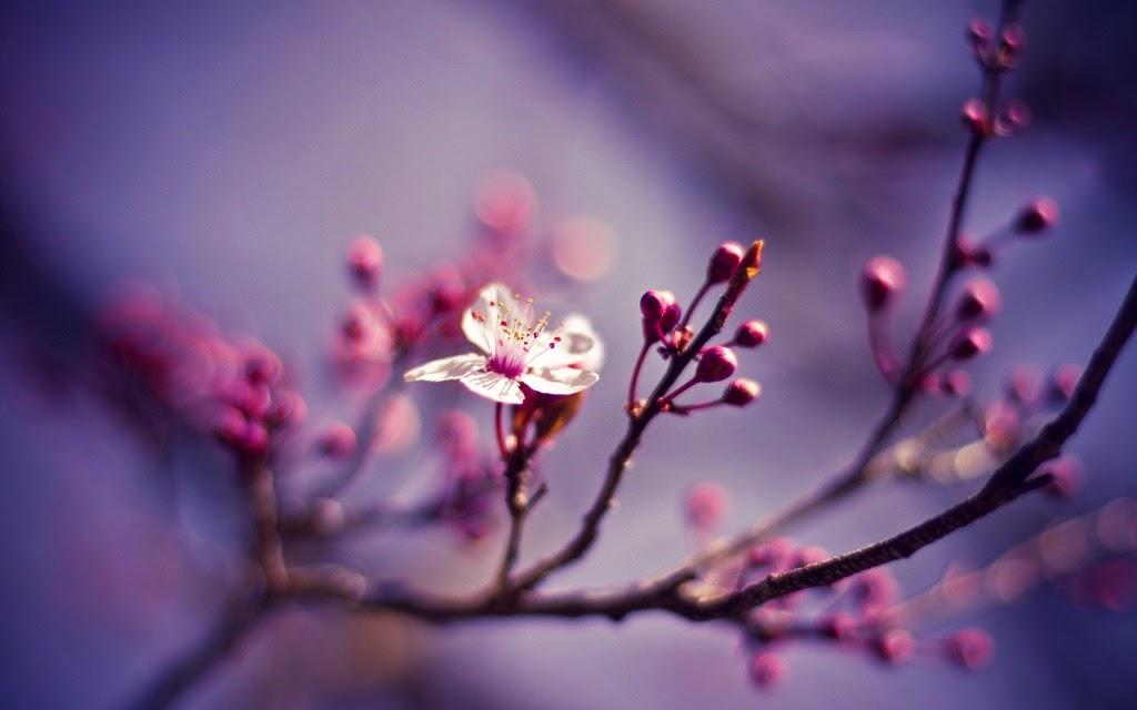 Unduh 6000 Wallpaper Bunga Sakura Ungu  Paling Baru
