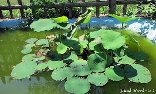 lotus plant leaves doing great, flourishing, warm weather