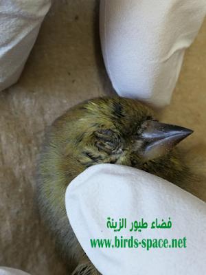 الميكوبلازما  عند الكـــناري و الحسون و العصافير الصغيرة