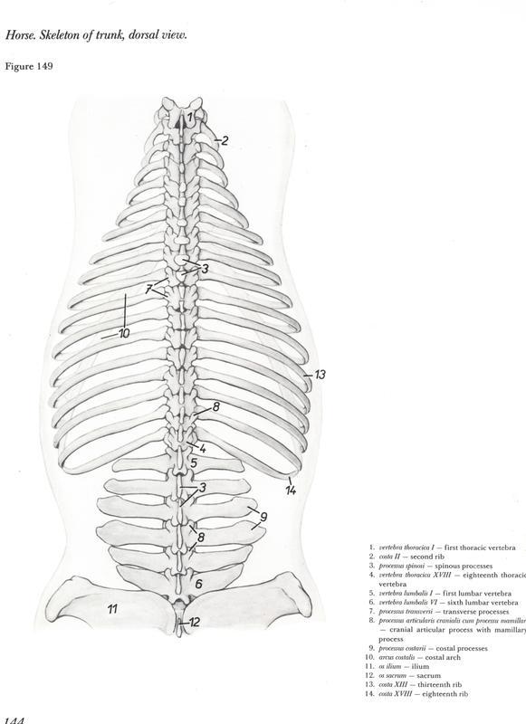 http://www.vetarq.com.br/ Anatomia de equinos: Tronco. Anatomy of horses