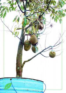 Penanaman Bibit durian Dalam Pot