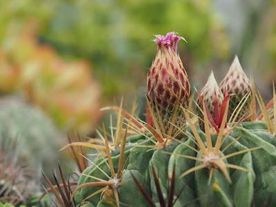 Jasa Tukang taman Surabaya Tanaman Hias Kaktus