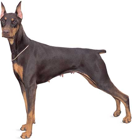 Dog Breeds Beginning With S