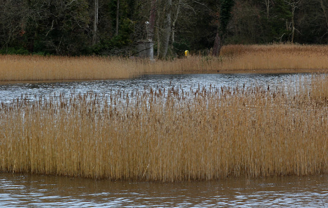 Reeds on the lake at Emo