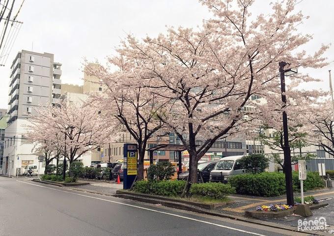 """Cherry tree """"sakura"""" in Fukuoka"""