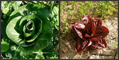 wild lettuces & radicchio