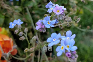 Alaska state flower, forget-me-not