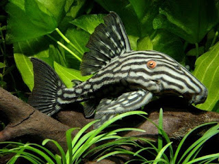 Jenis Ikan Sapu-Sapu Royal Pleco